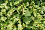German Ivy - Wax Leaf Variegated
