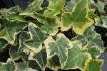Hedera Ivy Gold Child