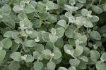 Helichrysum petiolare Silver