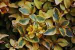 Lysimachia congestiflora Variegated
