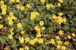 Oxalis articulata Burgundy Gold