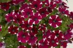 Petunia Cascadia Bicolor Cabernet