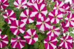 Petunia Littletunia Bicolor Illusion