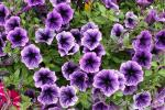 Petunia Littletunia Blue Vein