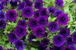 Petunia Littletunia Purple Blue