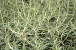 Rosemary prostrata