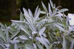Salvia officinalis Garden Grey