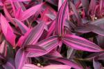 Setcreasea Purple Variegated