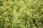 Thyme, Golden Lemon
