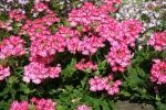 Verbena Estrella Pink Star
