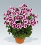 Candy Flowers Bicolor