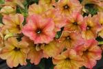 Petunia Crazytunia Terracotta