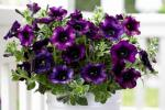 Petunia Crazytunia Twilight Red