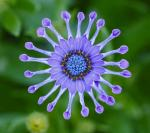 Osteospermum Astra Purple Spoon