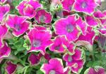 Petunia Crazytunia Kermit Purple