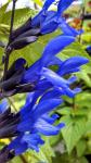 Salvia Black & Blue