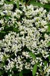 Euphorbia Starblast Snowdrift
