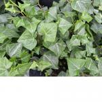 German Ivy - Wax Leaf Green