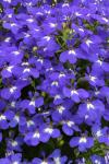 Lobelia Hot Brilliant Blue