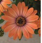 Osteospermum Astra Orange Sunrise