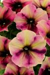Petunia Crazytunia Blackberry Cheesecake