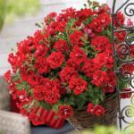 Petunia Glow Double Red