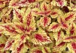 Coleus Color Clouds Honey Pie