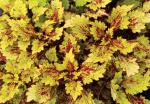Coleus Color Clouds Honeybear
