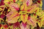 Coleus Color Clouds Hottie