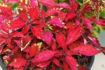 Coleus Wildfire Ignition