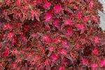 Coleus Wildfire Smoky Rose