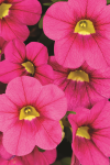 Calibrachoa Calitastic Fancy Fuchsia