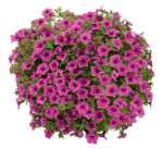 Petunia Cascadia Pitaya
