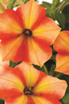 Petunia Crazytunia Citrus Twist