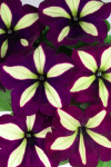 Petunia Crazytunia Frisky Purple
