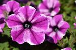 Petunia Crazytunia Maniac Lilac