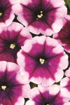 Petunia Crazytunia Passion Punch