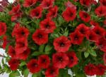 Petunia Littletunia Red Fire