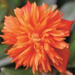 Portulaca Colorblast Double Mandarin