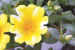 Portulaca Colorblast Lemon Twist