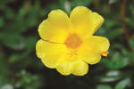 Portulaca Colorblast Limon