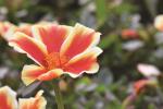 Portulaca Colorblast Mango Mojito