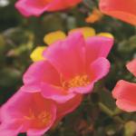 Portulaca Colorblast Plumberry