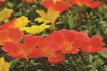 Portulaca Colorblast Tangerine