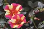 Portulaca Colorblast Watermelon Punch