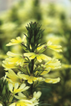 Scaevola Scalora Suntastic Yellow Imp.