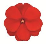 New Guinea Imp. Impacio Scarlet