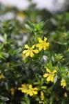 Cuphea hysspoifolia Suncup