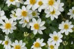 Bidens White Delight