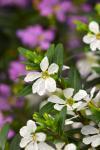 Cuphea hysspoifolia Floriglory Miguel